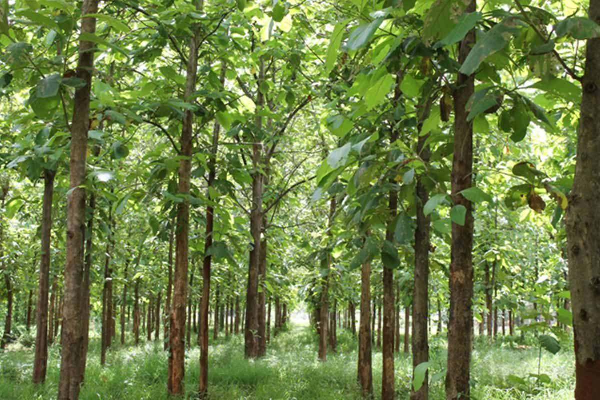 Đồn điền trồng teak ở châu Phi